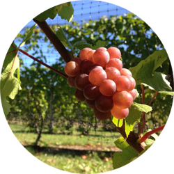 old-mission-peninsula-wine-grapes